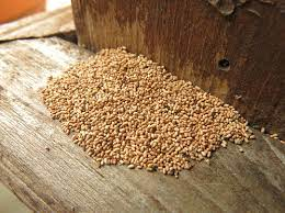 beneficial nematodes for termites